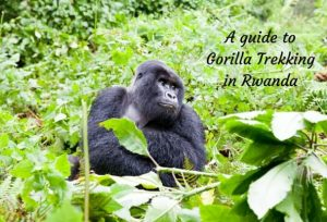 The World First Wander: The best in travel blogging - Gorilla trekking in Rwanda