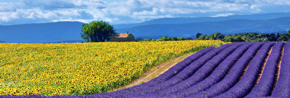 Stunning rural landscape with lavender field sunflower field and old farmhouse on background. Plateau of Valensole Provence France